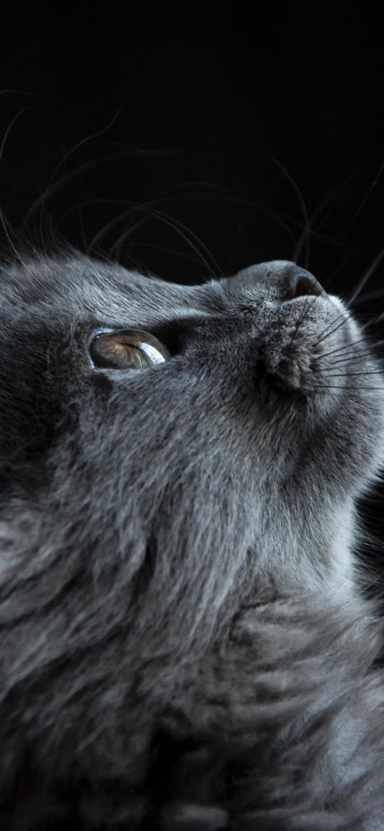 猫咪 灰色 仰望 喵星人 宠物