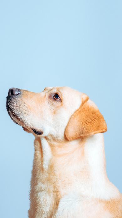 拉布拉多 狗 犬 汪星人 宠物