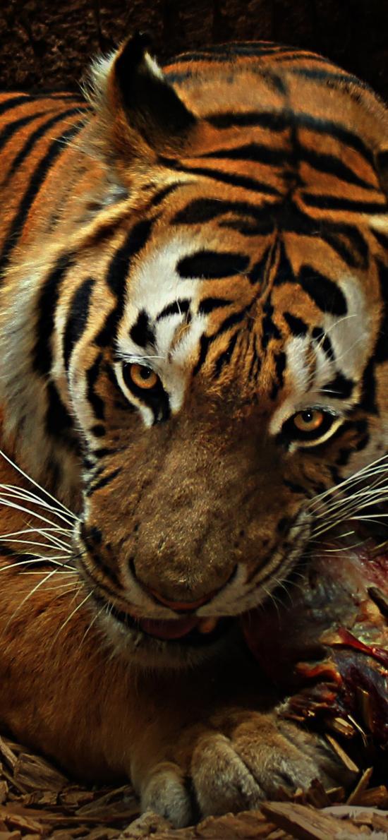老虎 凶猛 胡须 户外