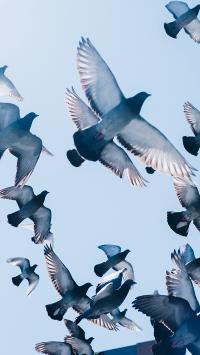 飞鸟 鸟群 鸽子 信鸽