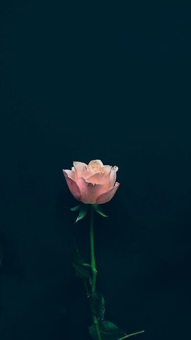 玫瑰 鲜花 枝叶 萎靡