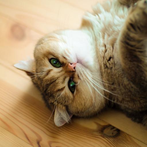 猫咪 喵星人 宠物 可爱 萌 慵懒