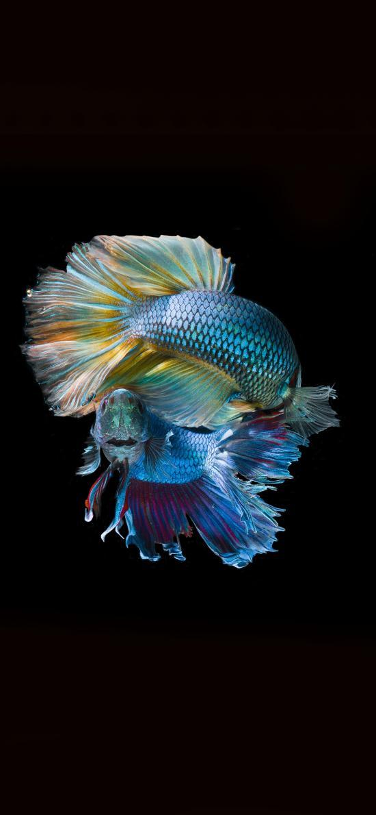 斗鱼 海洋生物 鱼类 观赏鱼 热带鱼