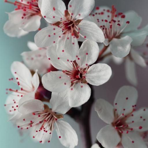 樱花 盛开 唯美 枝干 春 鲜花