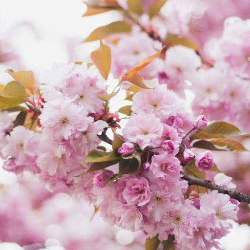 鲜花 花簇 枝头 盛开