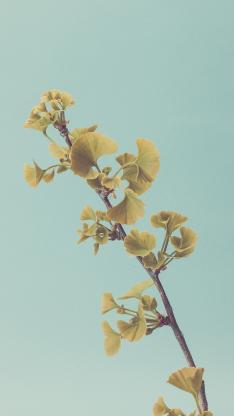 银杏 枝叶 枝干 叶子