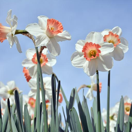 水仙 鲜花 枝叶 盛开