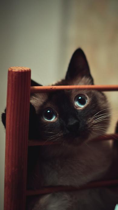 暹罗猫 宠物猫 大眼睛 萌