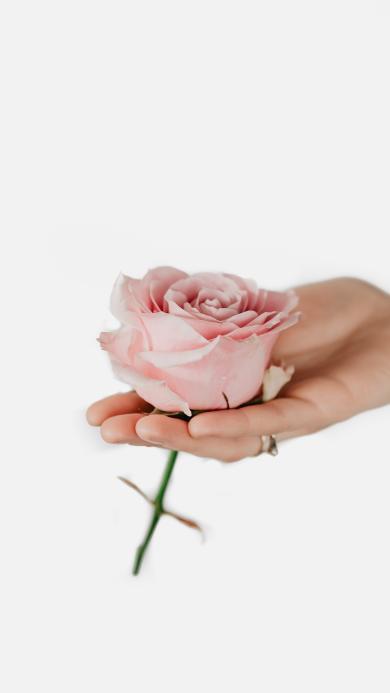 玫瑰 鲜花 粉色 手