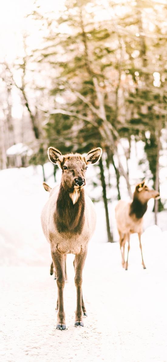 鹿 户外 雪地 鹿群
