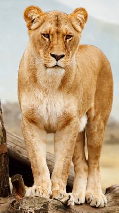 狮子 母狮子 站立 野外