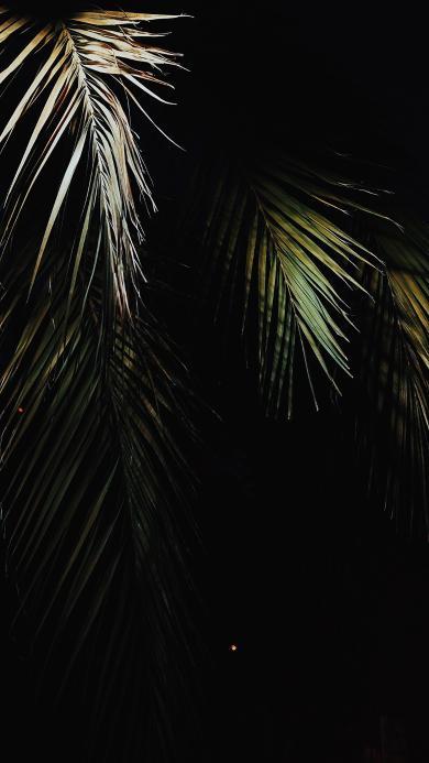 黑色背景 棕榈叶 枯萎