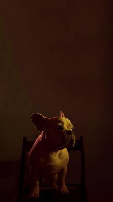 法斗 汪星人 犬 斗牛 可爱 宠物 黑暗