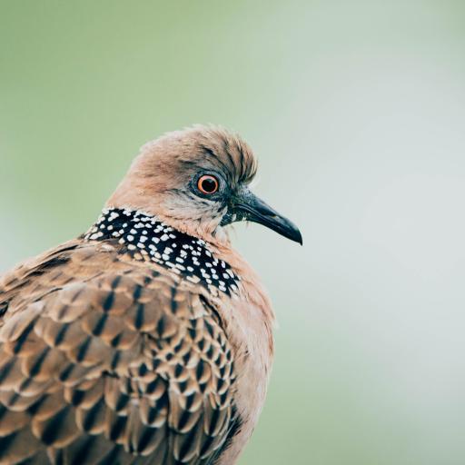 飞鸟 珠颈斑鸠 花斑鸠