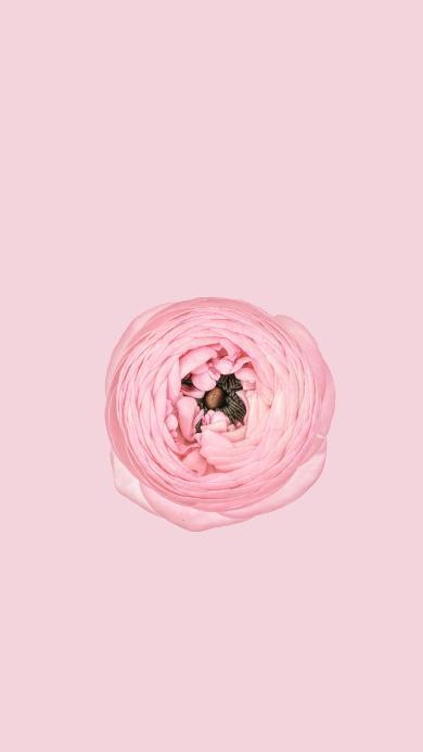 鲜花 粉色 盛开 花蕊 唯美