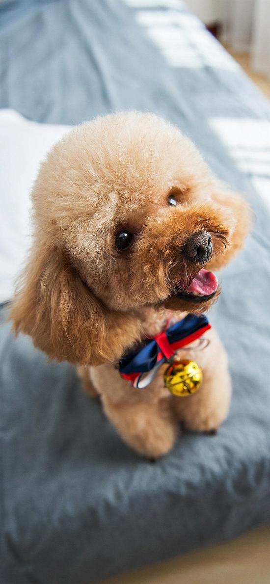 宠物 泰迪 毛发 可爱 狗 犬类