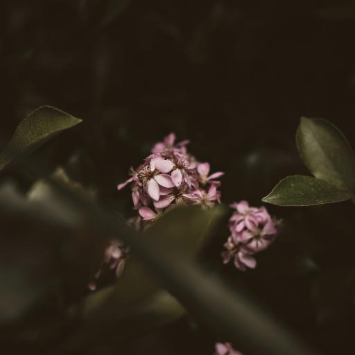 粉色鲜花 小清新 绽放