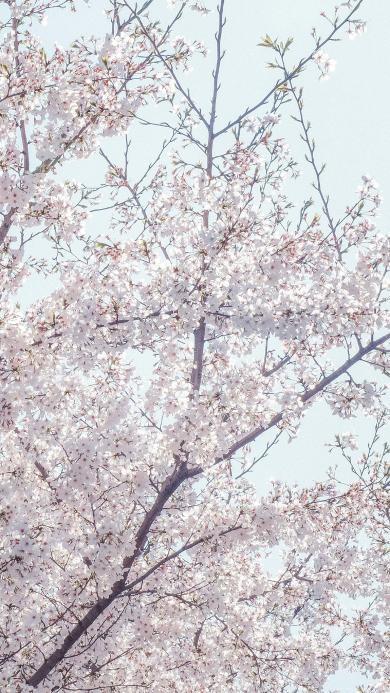 樱花 鲜花 枝干 唯美 春天