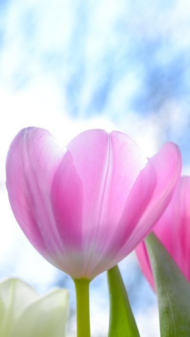 郁金香 鲜花 盛开 粉色 唯美 春天