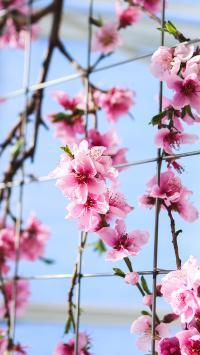 梅花 红梅 粉色 绽放