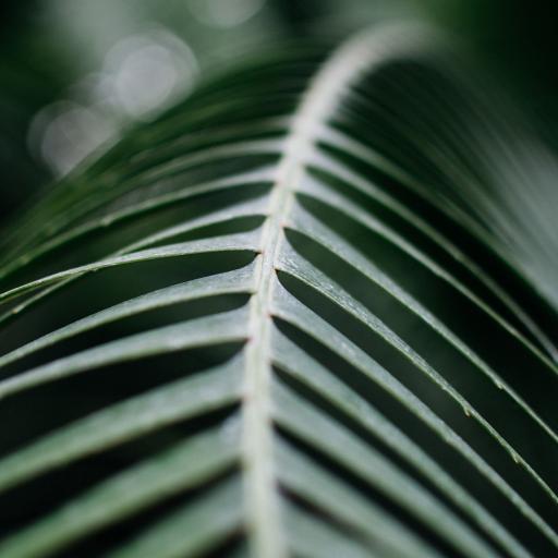绿叶 铁树 绿化 护眼