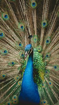 孔雀 开屏 覆羽 求偶