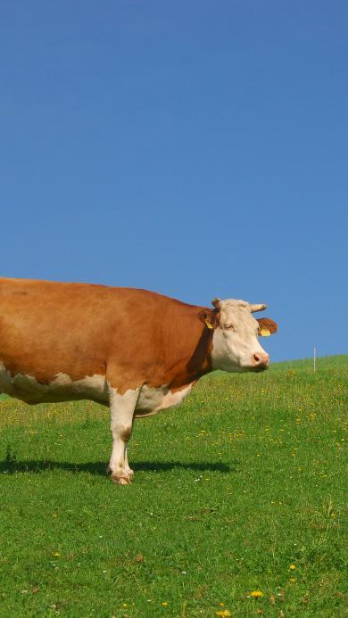 牛 草原 牧场 牲畜