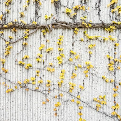 爬行 藤蔓 枯黄 根茎