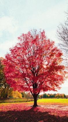 枫树 枫叶 树干 秋季 落叶