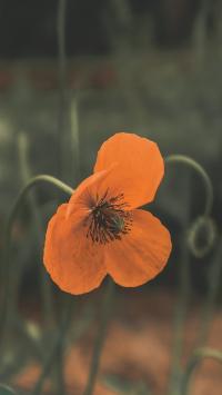花菱草 橙色 鲜花