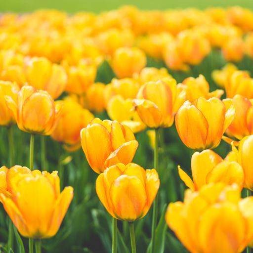 郁金香 鲜花 黄色 盛开