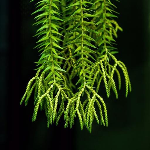 马尾衫 枝叶 碧绿 生长