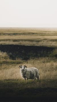 羊 草地 野外 绵羊