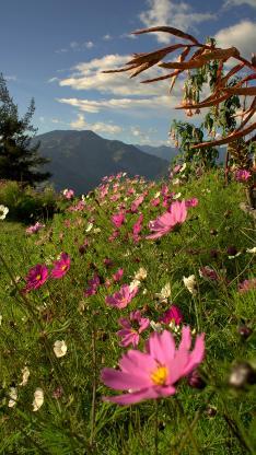草地 鲜花 波斯菊 粉色