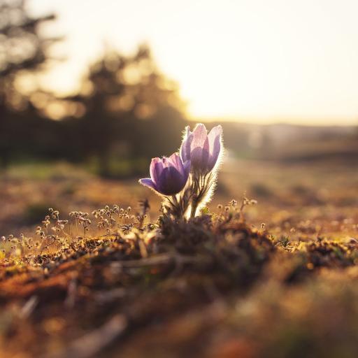 小花 破土而出 鲜花
