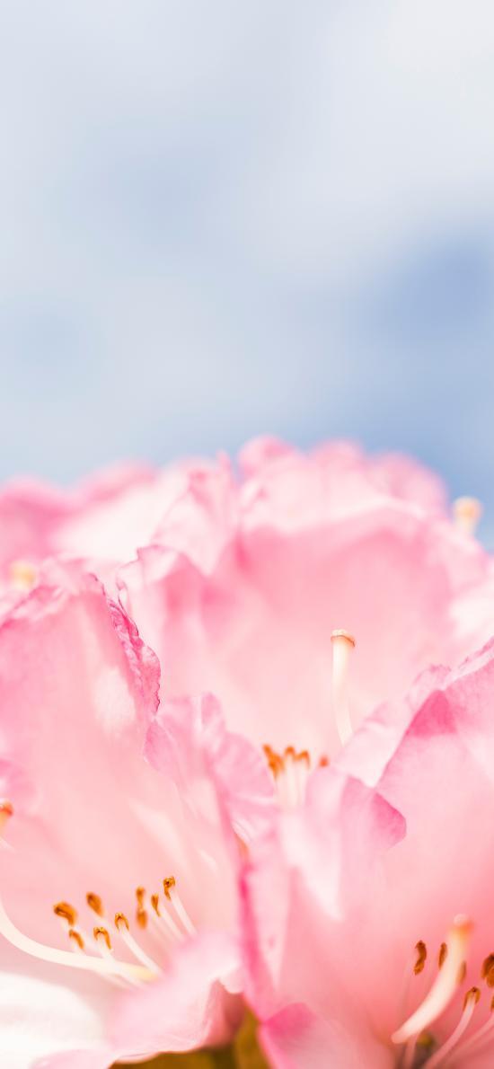 鲜花 花瓣 盛开 粉 花蕊
