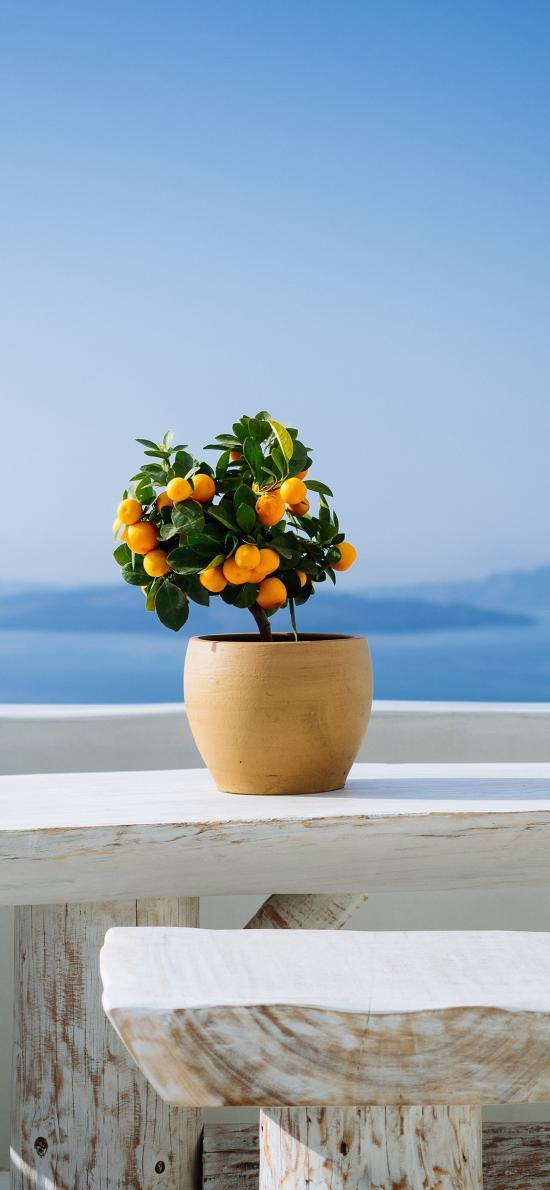 柑橘 桔子 盆栽 生长