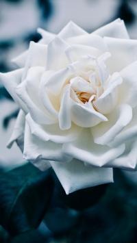玫瑰 鲜花 花瓣 盛开 绽放