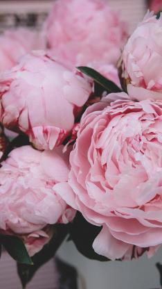 鲜花 芍药 粉 层叠