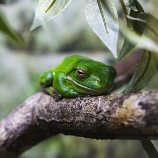 青蛙 树蛙 枝干 两栖