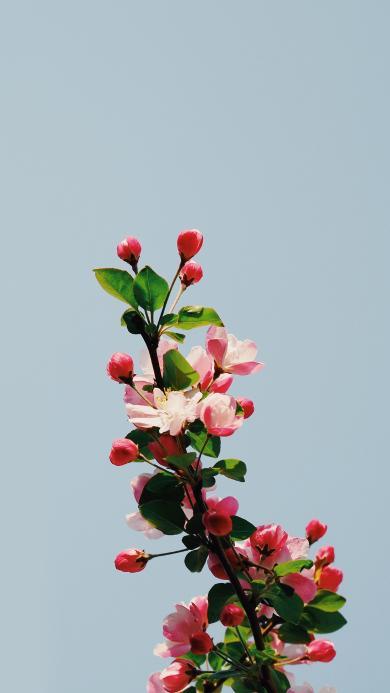 花季 苹果花 鲜花 盛开 枝头