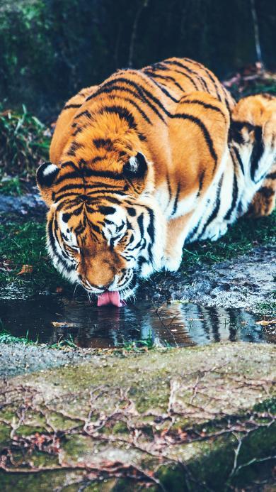 老虎 喝水 野外 树林 皮毛