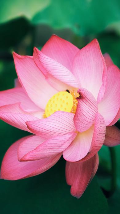 荷花 荷叶 盛开 花瓣 夏日
