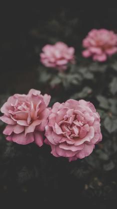 鲜花 盛开 花瓣 绽放