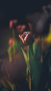 鲜花 郁金香 红色 绽放
