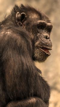 猩猩 猿类 聪明 高智商