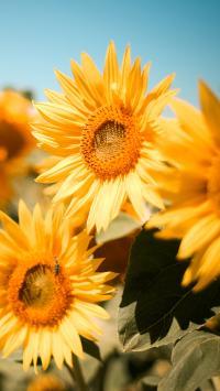 向日葵 鲜花 枝叶 盛开