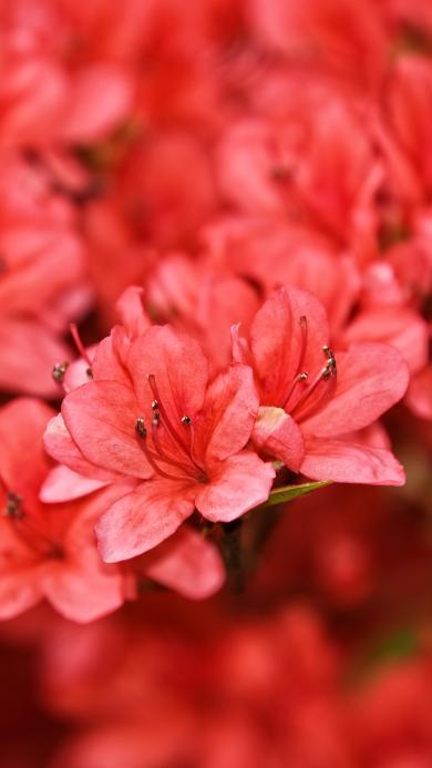 鲜花 盛开 红色 枝干