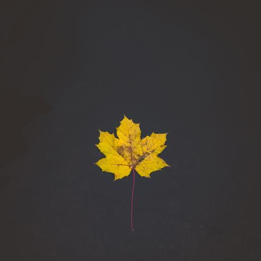 枫叶 标本 落叶 叶子