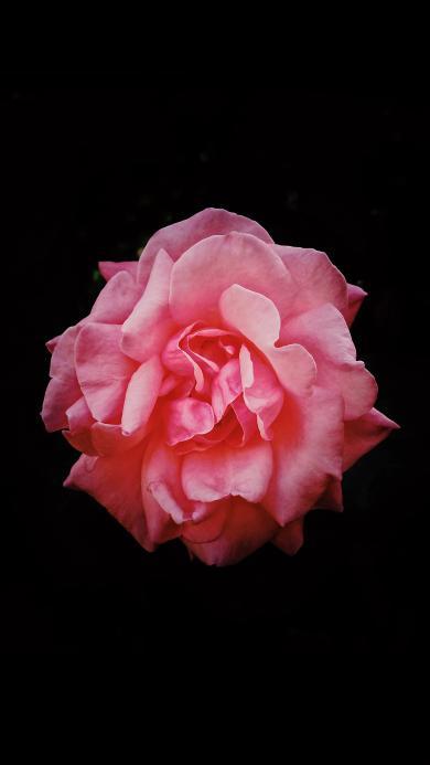 鲜花 特写 盛开 花瓣 粉 花朵
